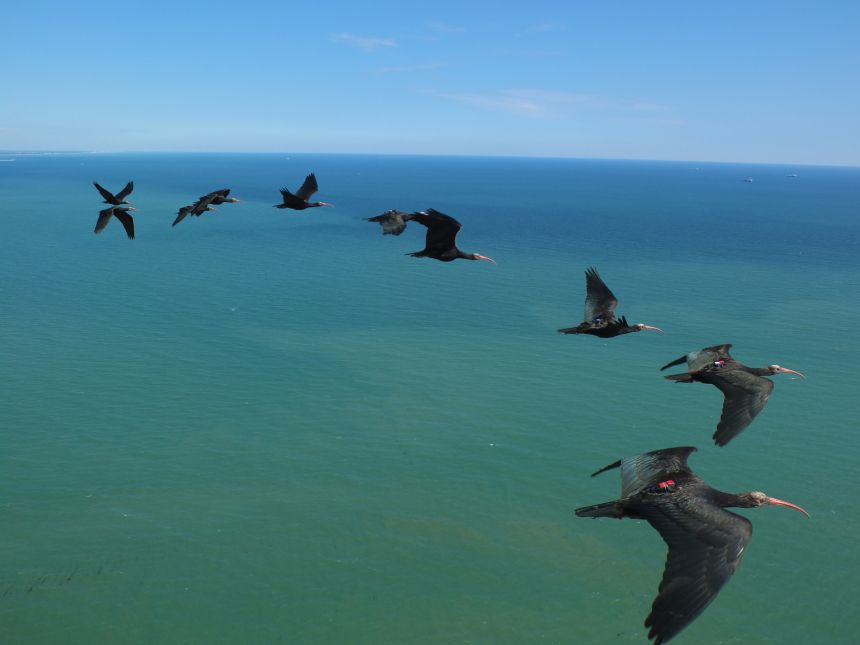 Flock of tagged ibis flying above The Adriatic