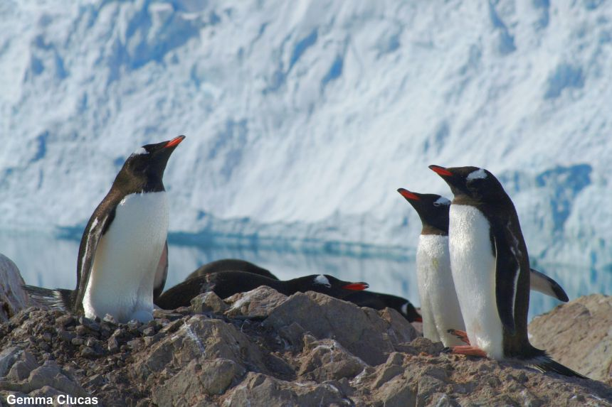 In contrast to other penguins Gentoo population numbers have increased in recent years