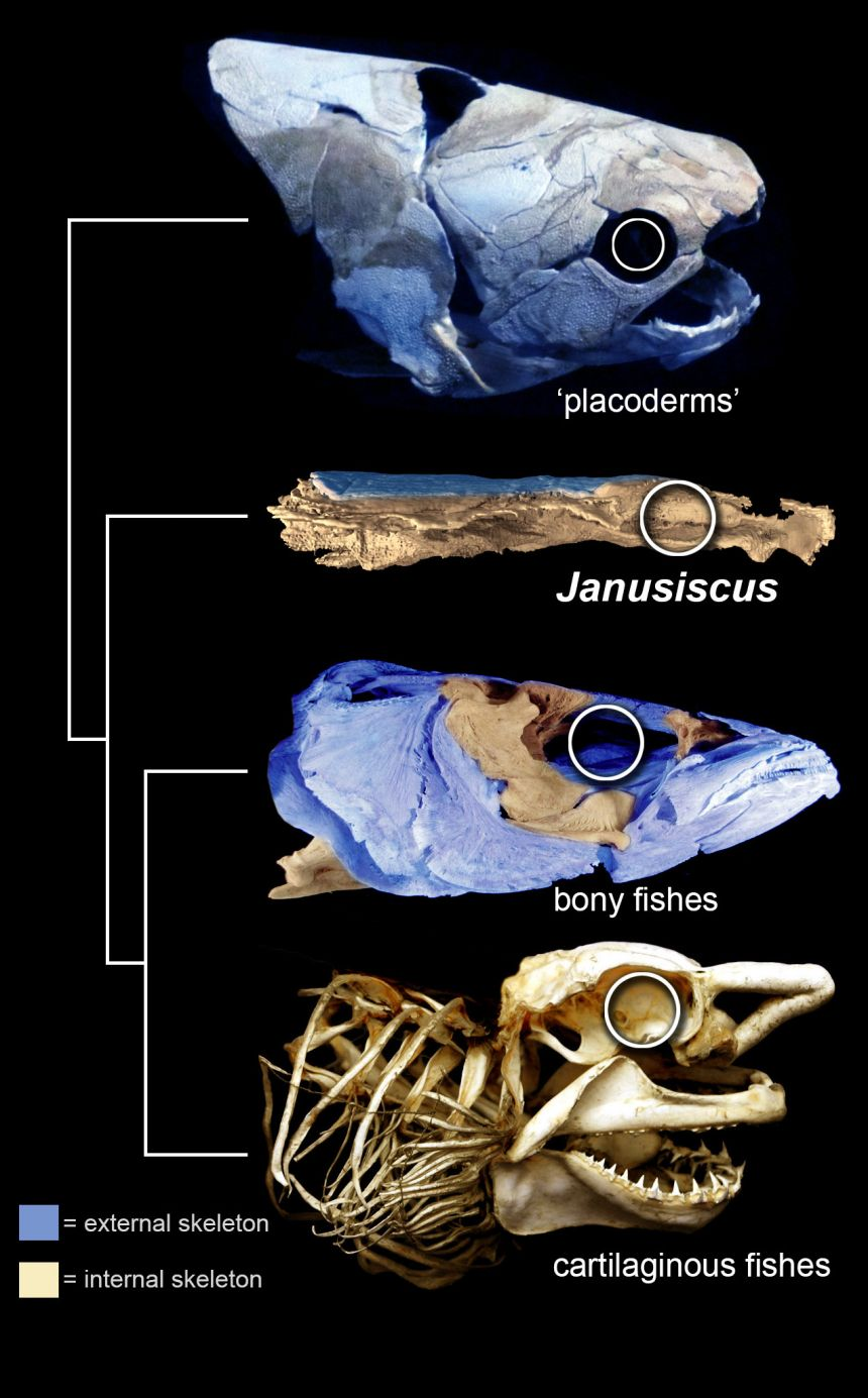 The 415 million year old fish Janusiscus provides critical evidence for a well-developed external skeleton (shown in blue) in the shared ancestor of bony fishes and cartilaginous fishes such as sharks.