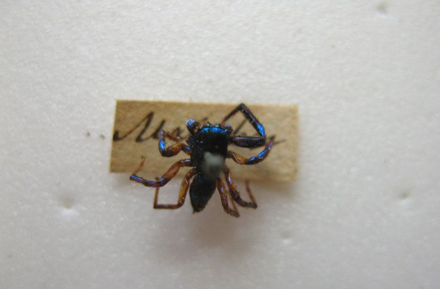 Jumping spider: spiders too have evolved to harness structural colours