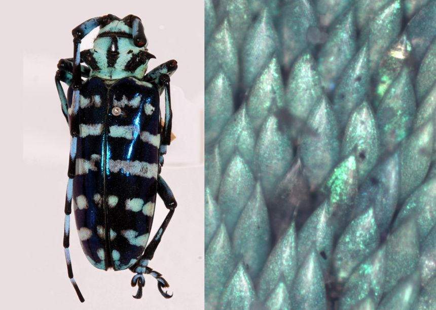 Longhorn beetle and lose up of shingle-like scales