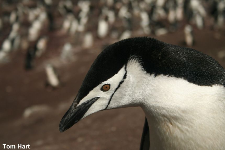 Chinstrap penguins have also become climate change 'losers'