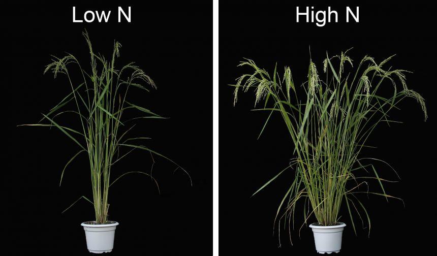 Soil Nitrogen Promotes Rice Branching