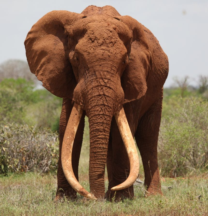 Satao, a bull elephant who was killed for his ivory in June 2014