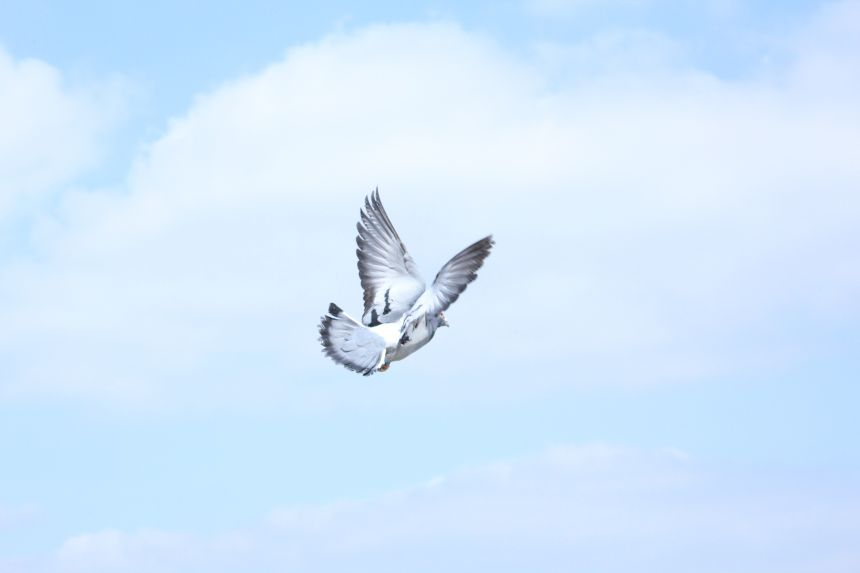 Pigeons can pass on knowledge through generations