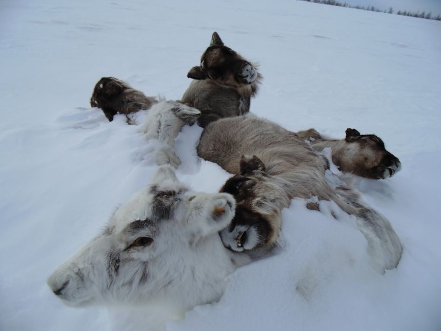 Reindeer starve to death because a thick ice covers their food.