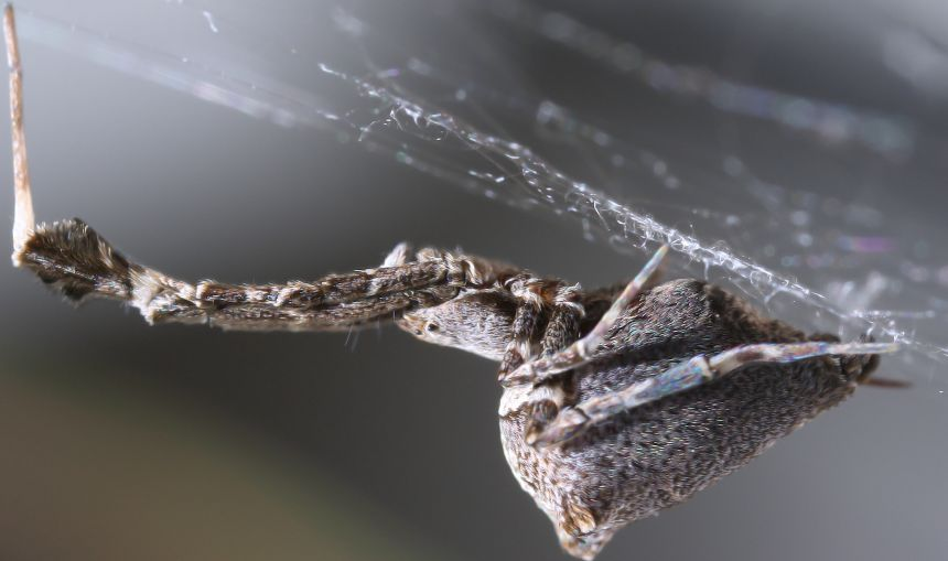 Side view of the 'garden centre spider' Uloborus plumipes