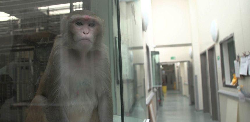 Primate in lab