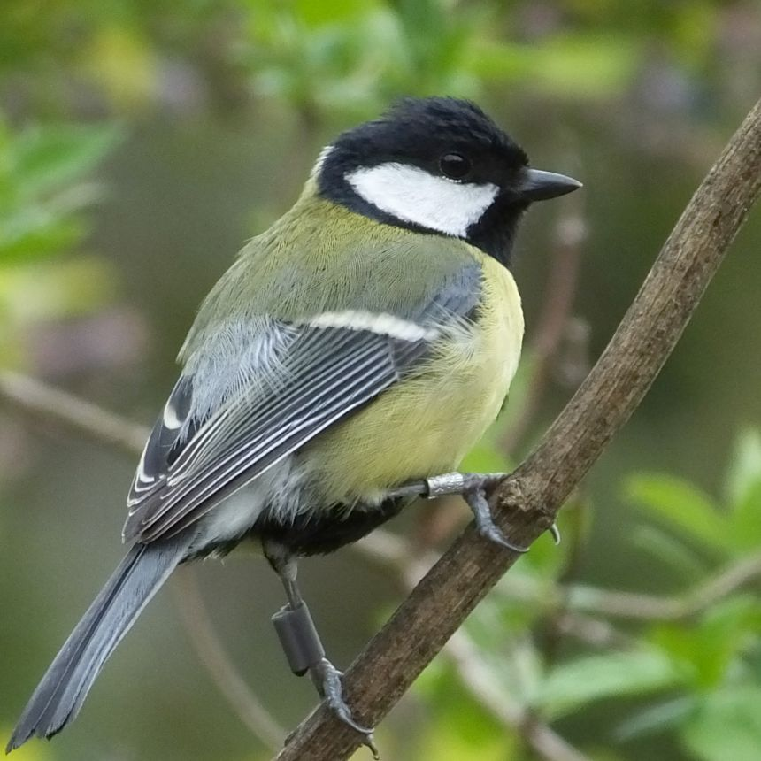 Great tit wearing a PIT tag