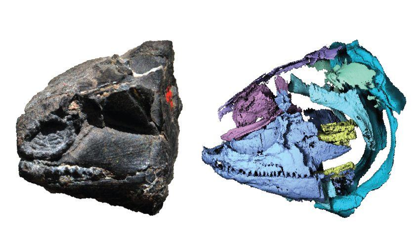 250-million-year-old fossilised head of a polypterid beside a digital visualisation of its skull
