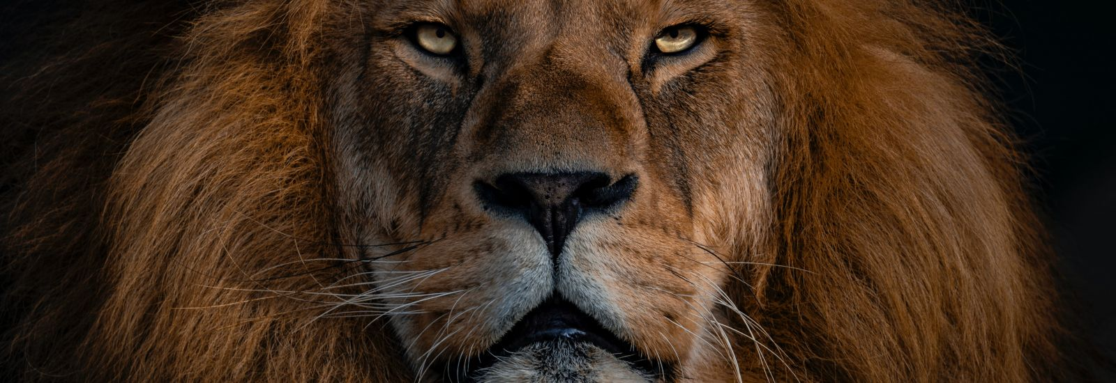 Close-up of a lion's head on a black background