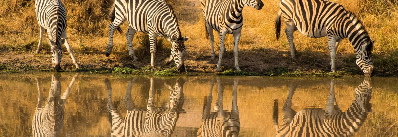 Four zebra drinking and reflected in a lake