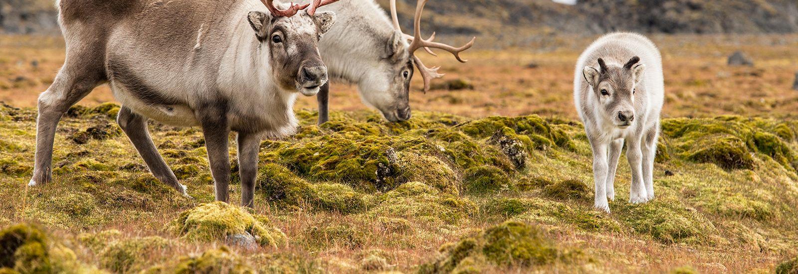 Wild reindeer family - Spitsbergen, Svalbard
