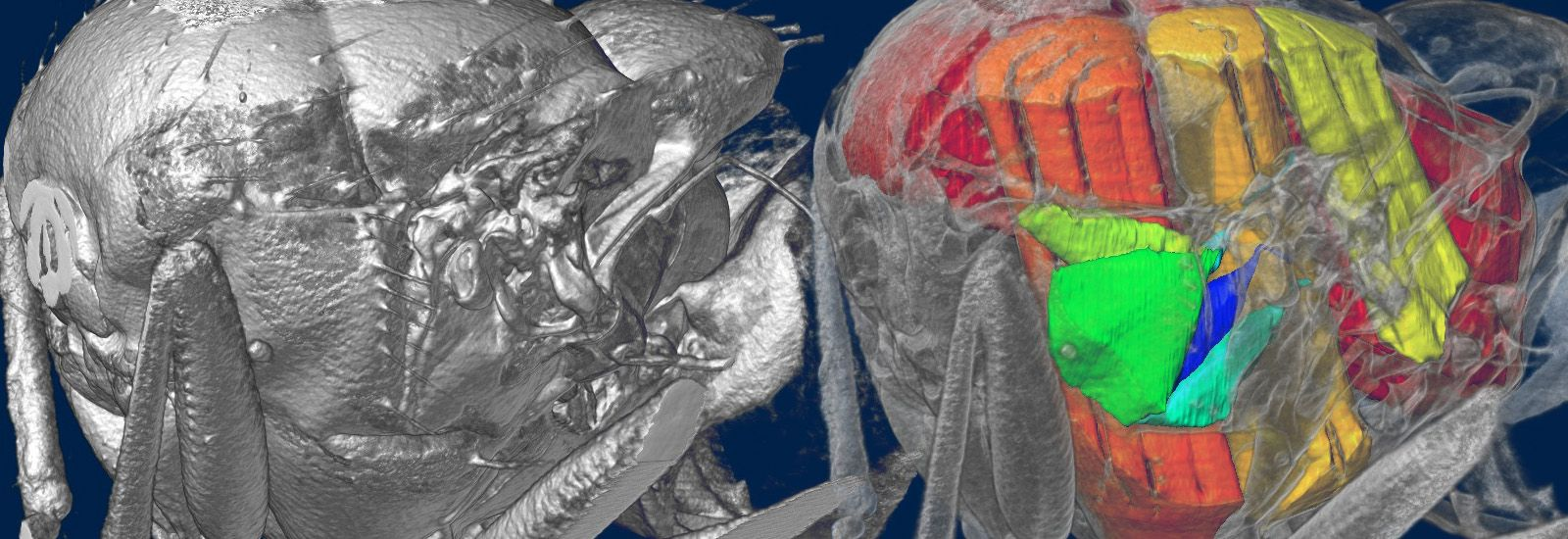 A 3D x-ray of a blowfly