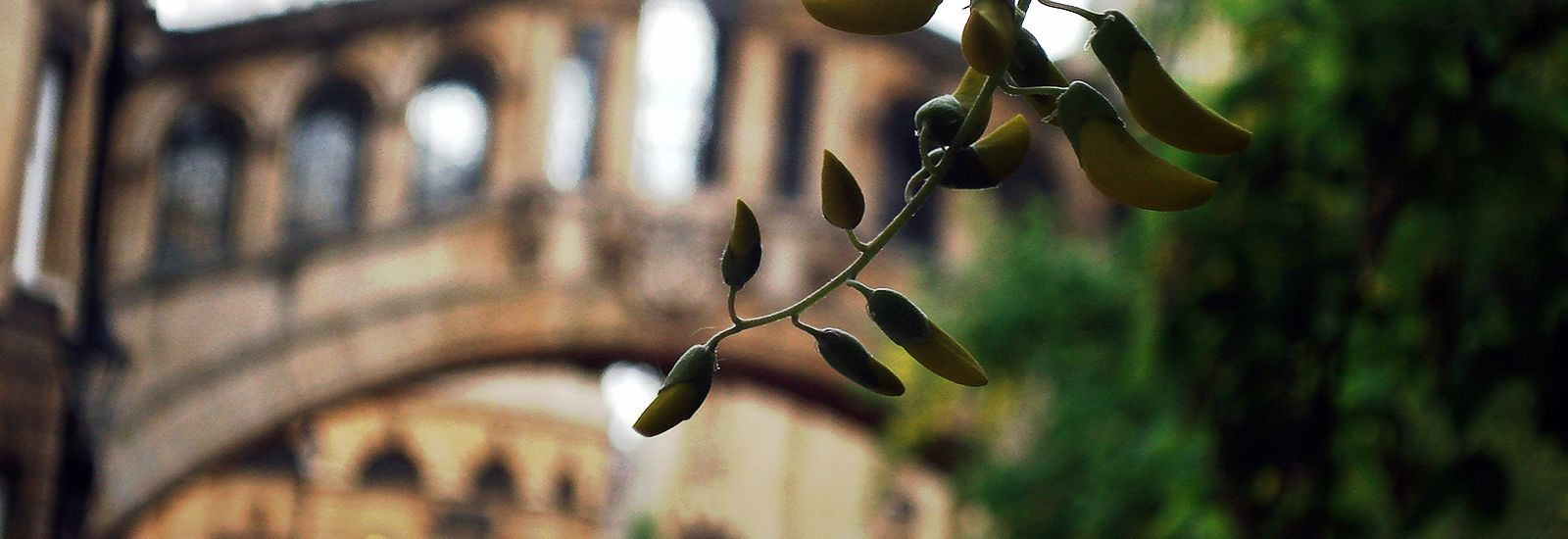 Close up of a plant infront of the Bridge of Sighs