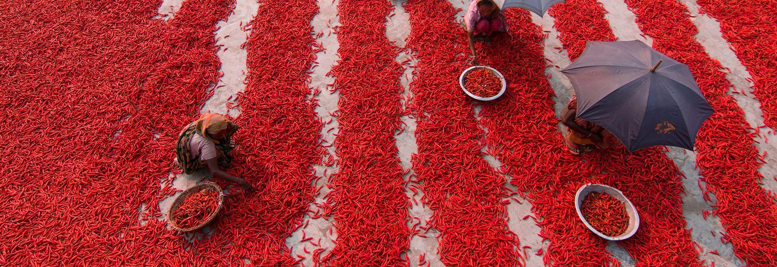 Chili pickers working