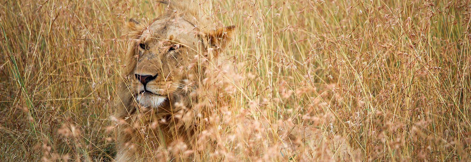 A lion in long grass