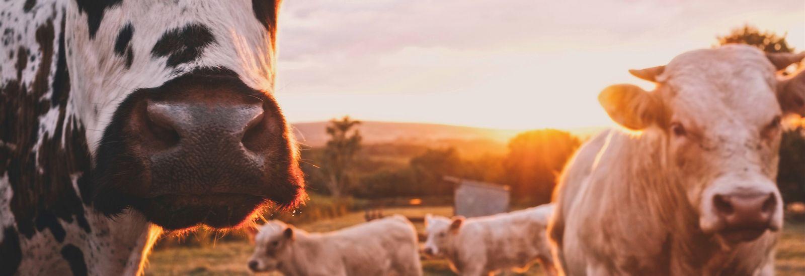 A herd of cows in a field