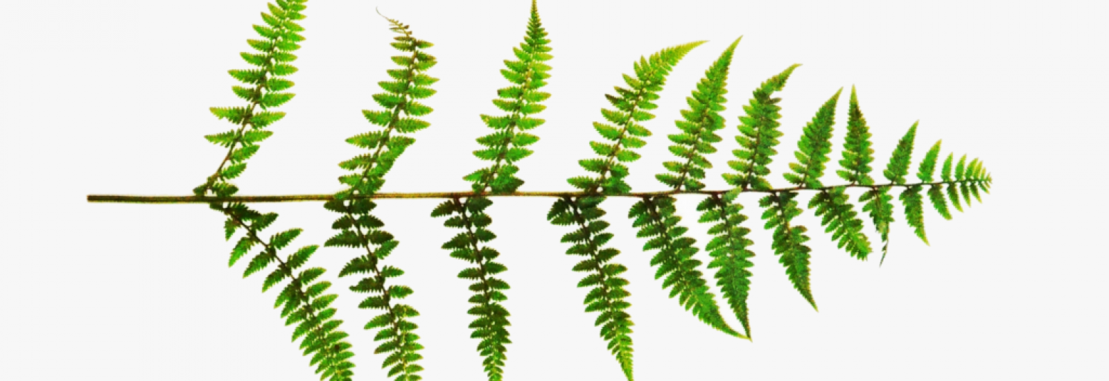 Picture of a Fern