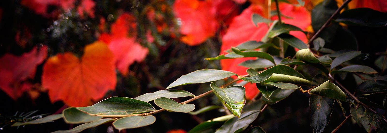 A close up of red flowers and leaves