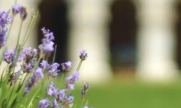 Lavender at Worcester