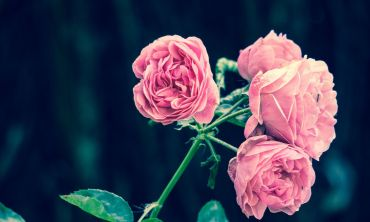 A photograph of pink roses
