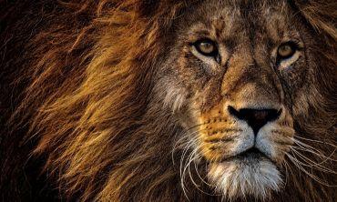 Close up image of a lion's face