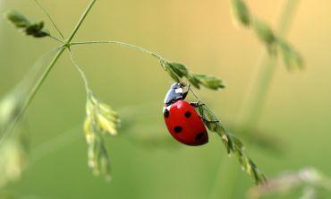 Generic image of a ladybird climbing up a grass seed head