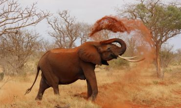 Grey elephant pictured throwing sand