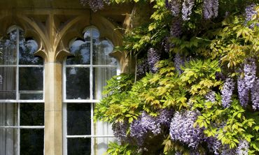 Wisteria at Worcester College