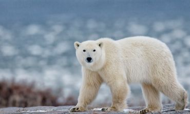 'Citizen scientists' help researchers gather new insights into polar bear behaviour