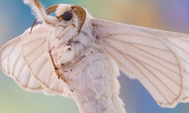 Macro closeup view of a silk moth