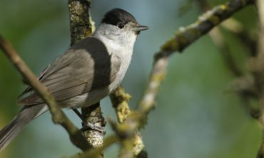 At a time when so many species are struggling to adapt to human-mediated environmental change, Blackcap numbers are actually rising and this species' ability to ring in the changes might explain why