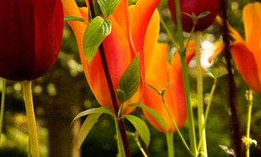 Tulips in the Botanic Gardens
