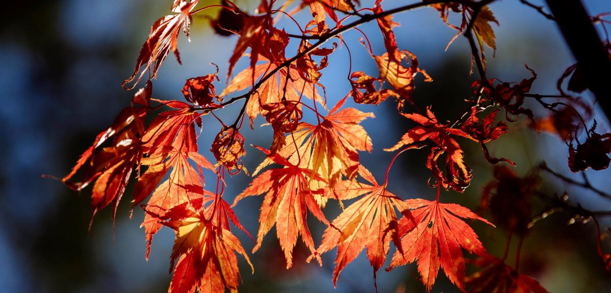 Acer tree with orange leaves