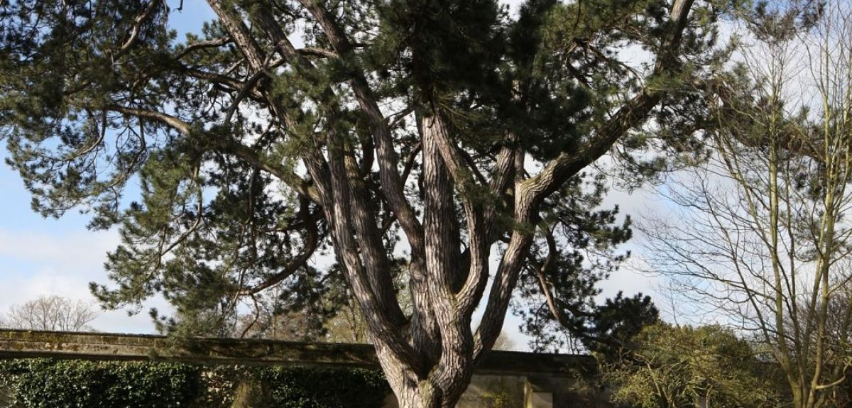 Pinus nigra in Oxford University's Botanic Garden