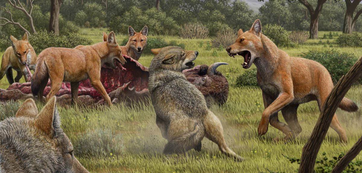The results of this study suggest that dire wolves were more warm adapted and likely appeared more similar to dholes or South American canids with shorter, more reddish hair. They grey wolves in this image are included to show the contrast between the two