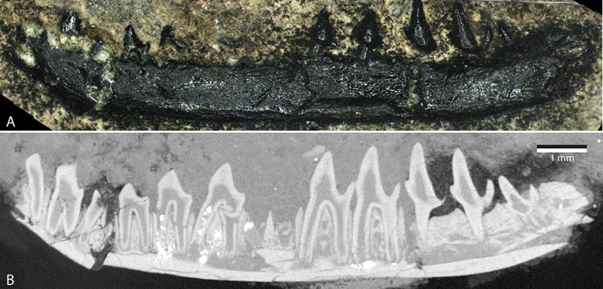 Skye fossil