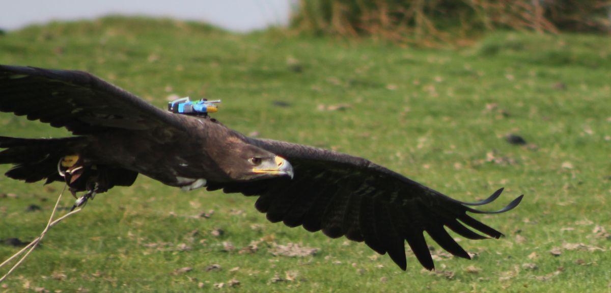 The steppe eagle 'Cossack' wearing his 'black box' flight recorder backpack.