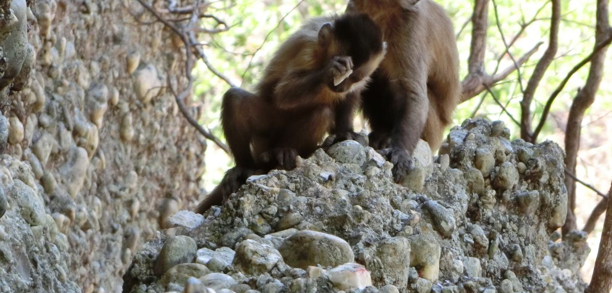 Wild-beard capuchin in Brazil  is observed smashing stones and unintentionally creating flakes similar to those once created intentionally by hominins.