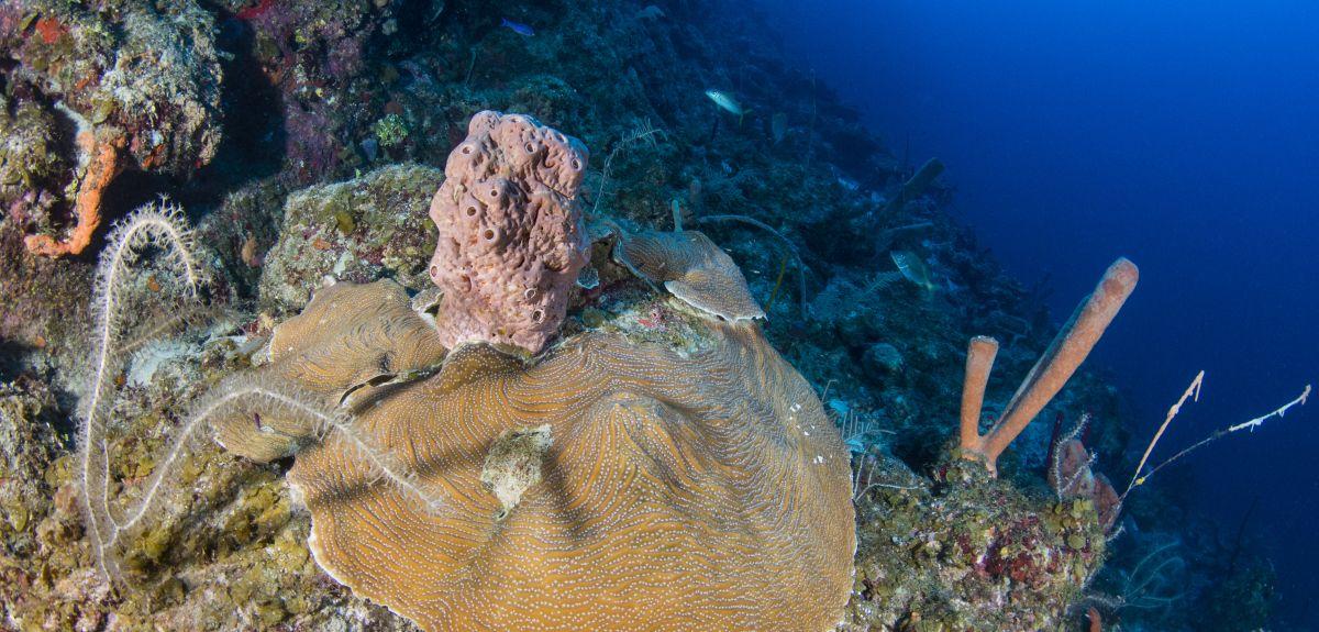 Mesophotic coral reef