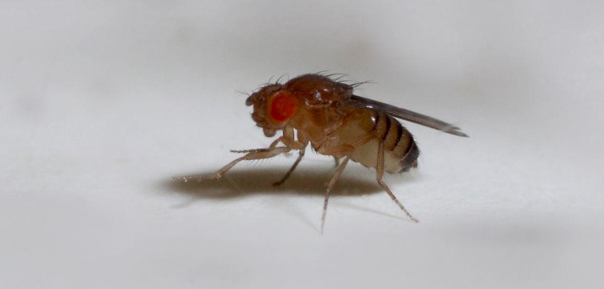 Female fruit fly