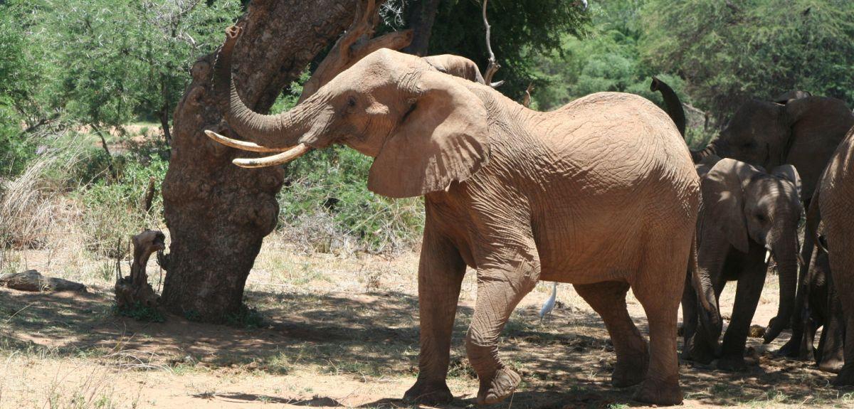 Elephant shaking head