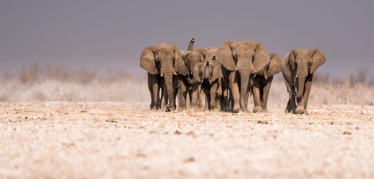 Thirsty elephants approaching the Gemsbokvlakte Waterhole in Etosha National Park, Namibia
