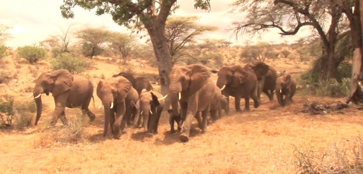 Elephants run from Samburu voices