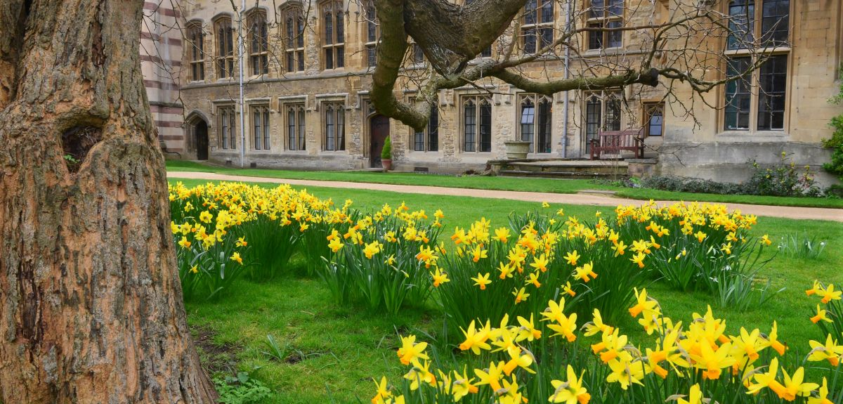 Daffodils on a lawn in Oxford