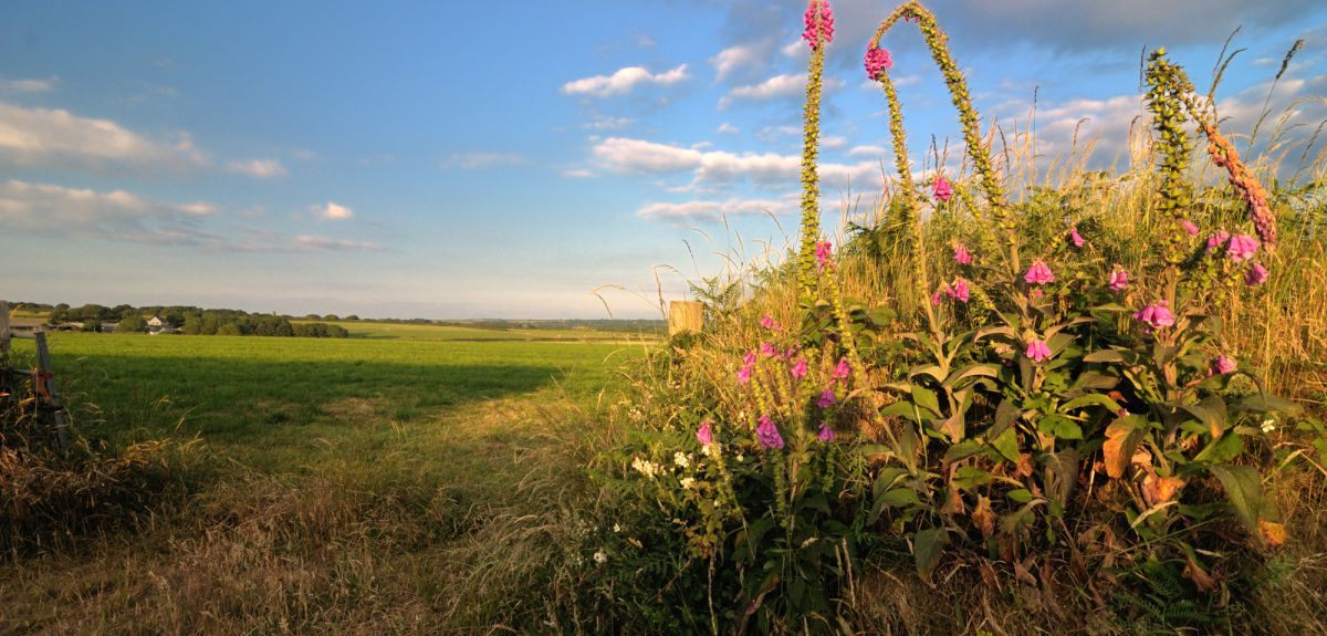 Farm hedgerow with foxgloves