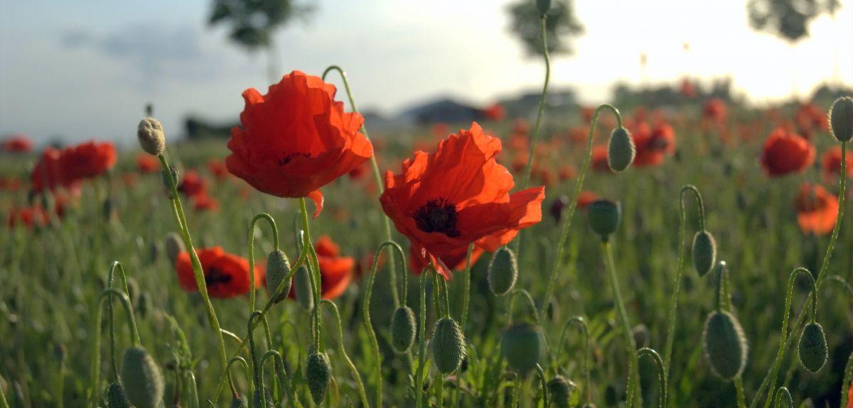 A poppy field in Flanders
