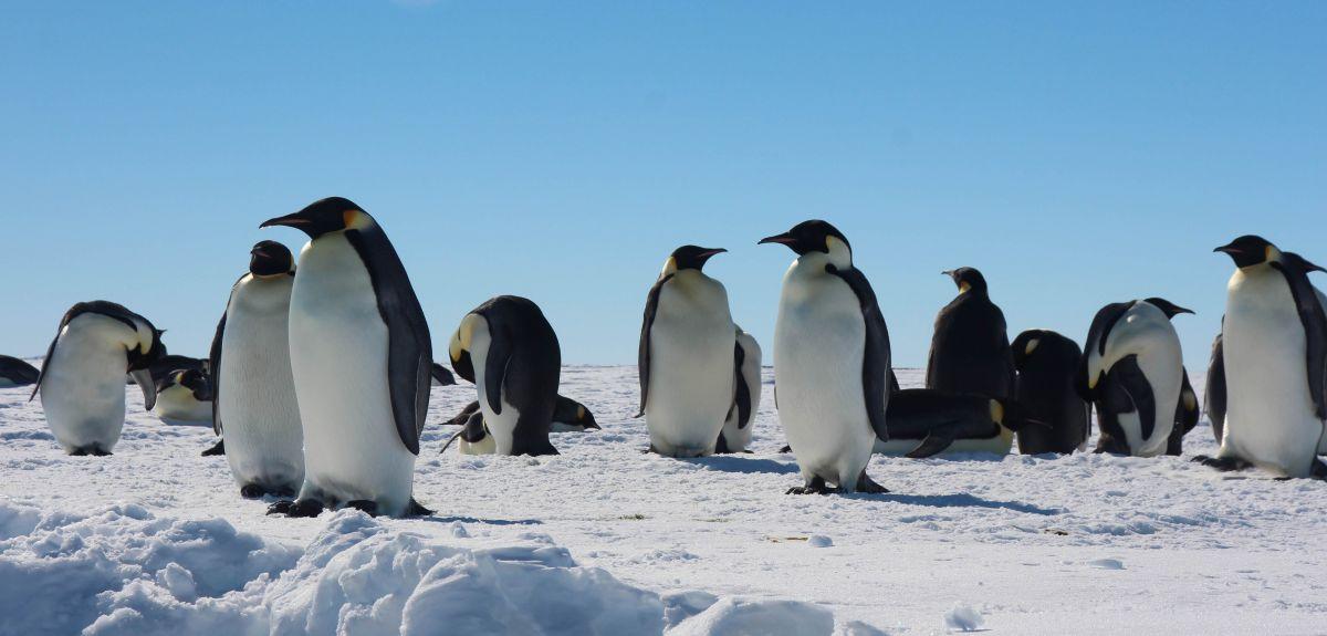 Emperor penguins at Gould Bay