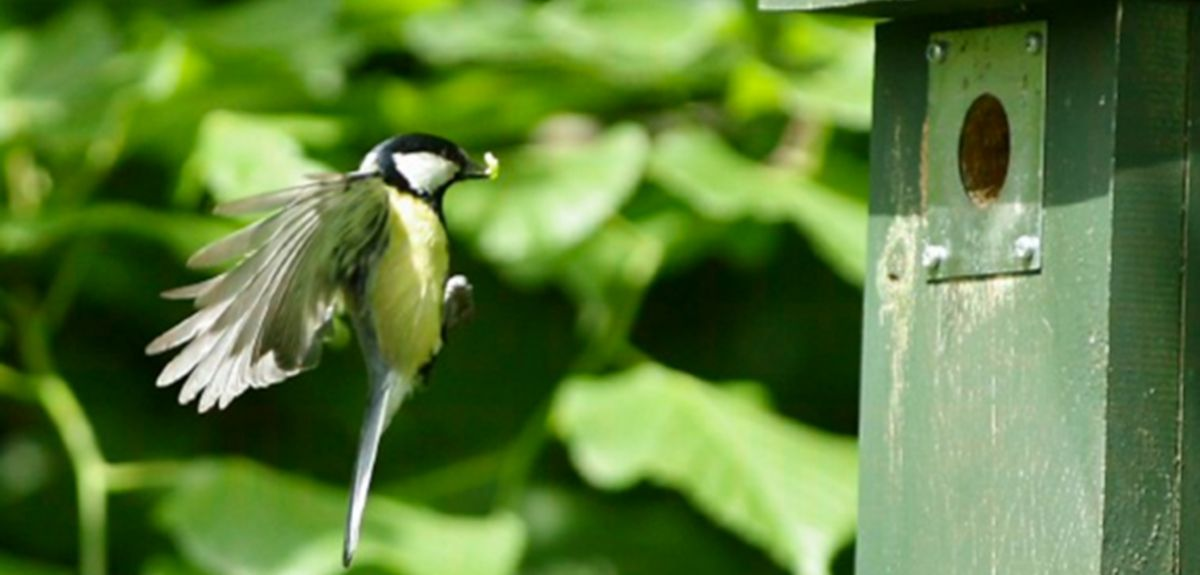 Great tit returning with a caterpillar